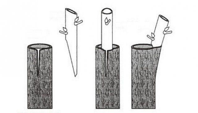 ხის ქერქზე დამყნობა