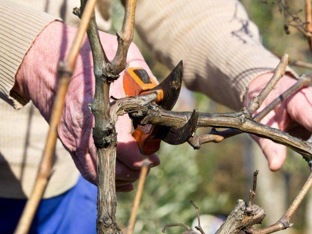 12 შეცდომა, რომელსაც მცენარის გასხვლის დროს უშვებენ