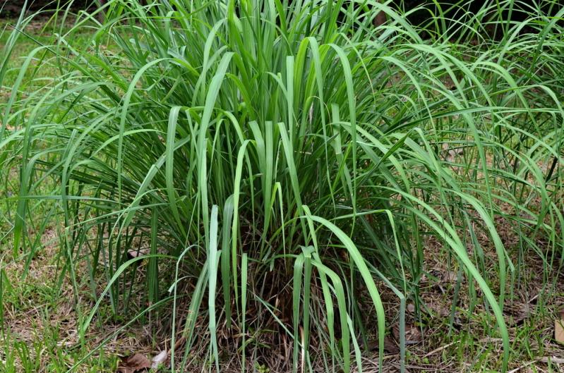 10 სუპერ მცენარე, რომელიც თქვენი სახლიდან მწერებს გააქრობს, ქიმიურ ნივთიერებებზე უკეთესი ეფექტი აქვს!
