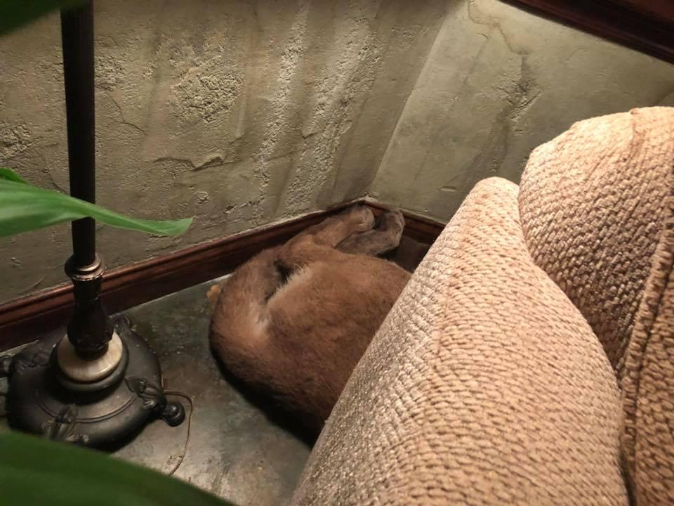 ქალმა სახლში შეპარული ლომი იპოვა და მისი გაგდებისთვის ყველაზე საოცარ ხერხს მიმართა