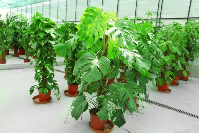 10 დიდი მცენარე ოთახისთვის, რომელიც სახლს გაგილამაზებთ