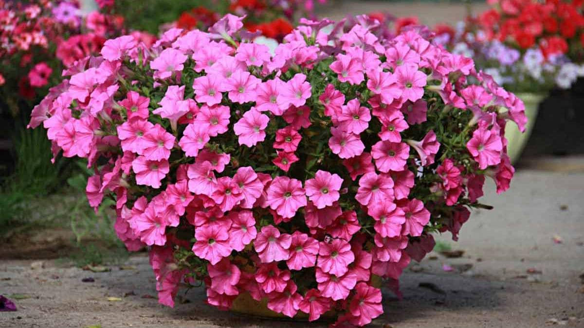 აი როგორ გაზარდო ერთერთი ყველაზე ლამაზი ყვავილი სახლის აივანზე